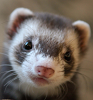 Nosiferret