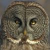Strixowl